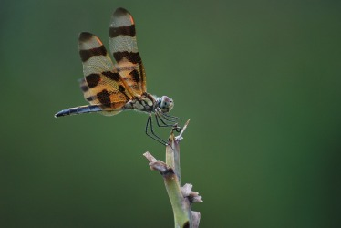 dragonfly-412058_960_720